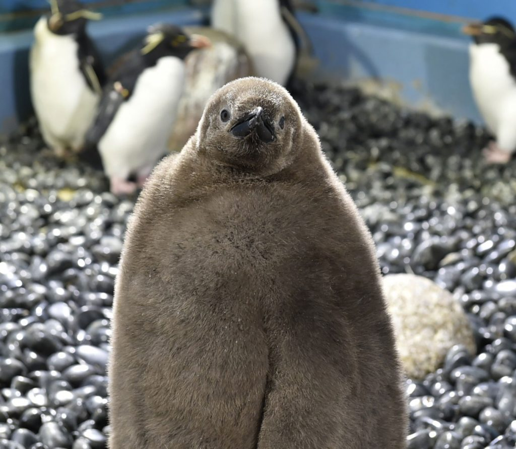 オウサマペンギン赤ちゃん