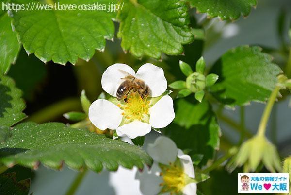 いちごの花とハチ
