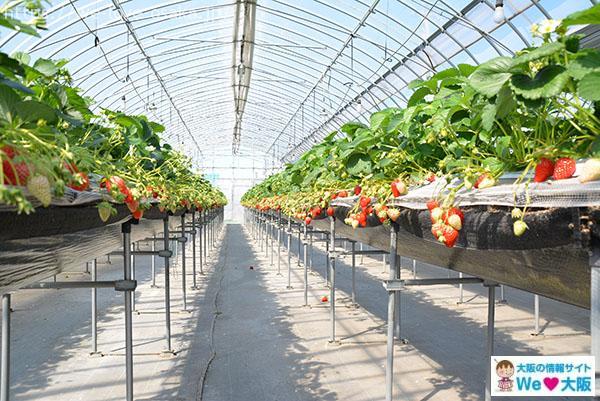 イチゴ狩り 高設栽培