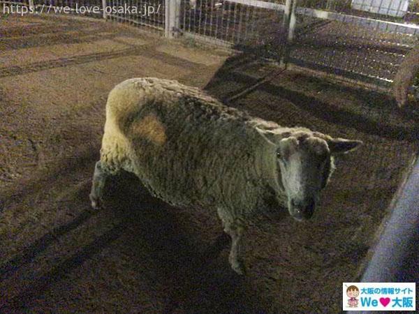 天王寺動物園 ナイトズー 羊