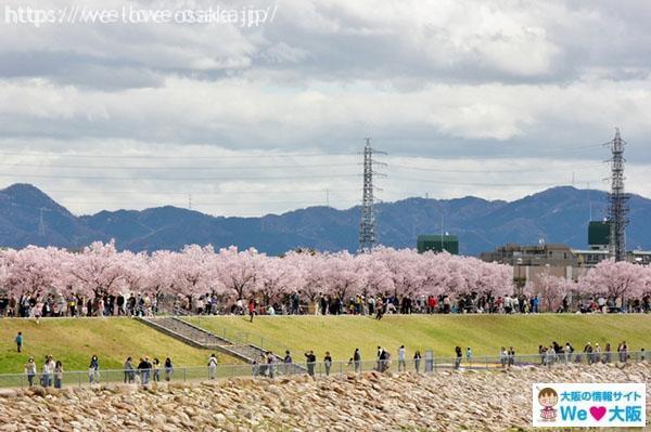 狭山池公園 桜