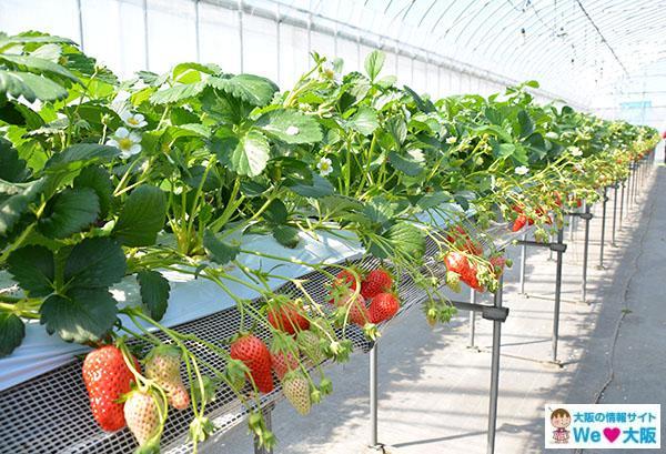 イチゴ狩り 高設栽培②